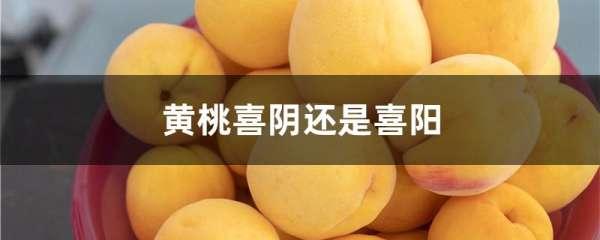 黄桃喜阴还是喜阳
