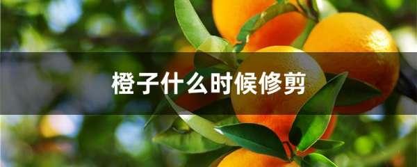 橙子什么时候修剪