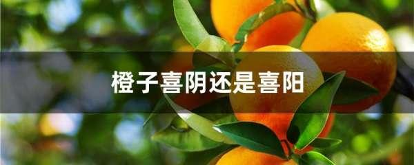 橙子喜阴还是喜阳