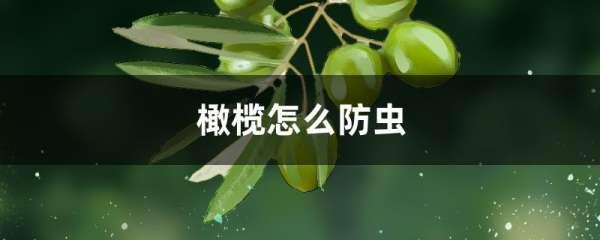 橄榄怎么防虫