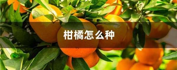 柑橘怎么种