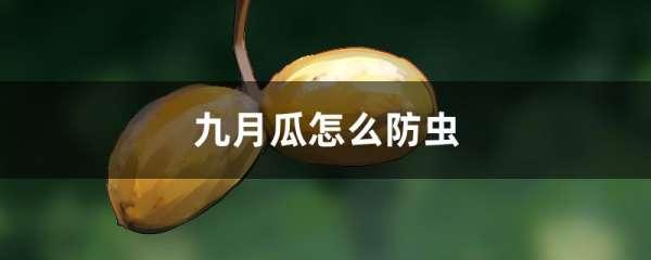 九月瓜怎么防虫