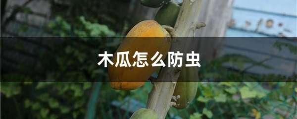 木瓜怎么防虫