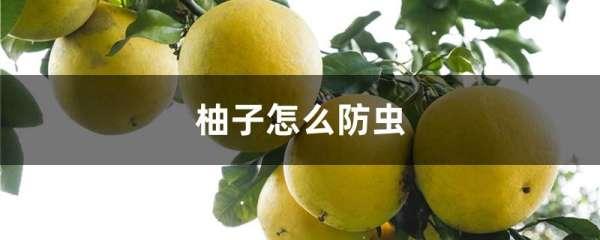 柚子怎么防虫