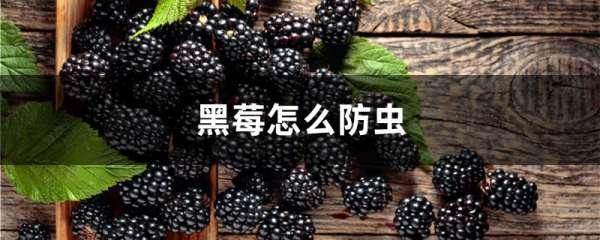 黑莓怎么防虫