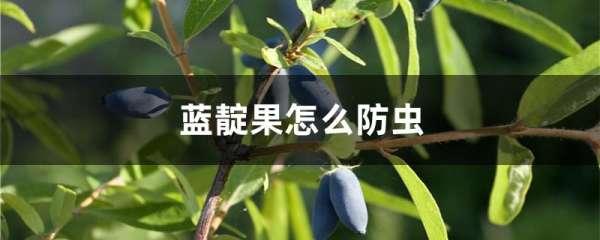 蓝靛果怎么防虫