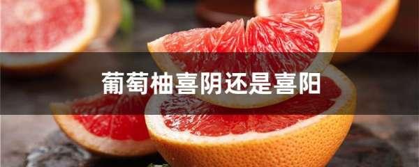 葡萄柚喜阴还是喜阳