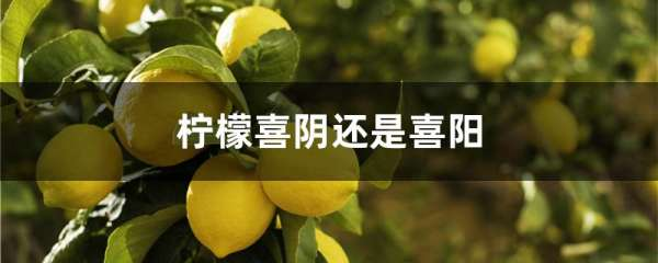 柠檬喜阴还是喜阳