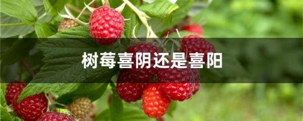 树莓喜阴还是喜阳