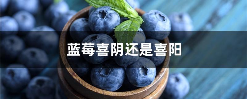 蓝莓喜阴还是喜阳