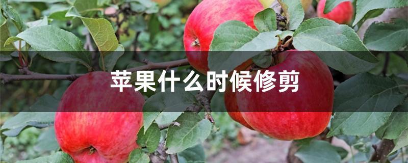 苹果什么时候修剪