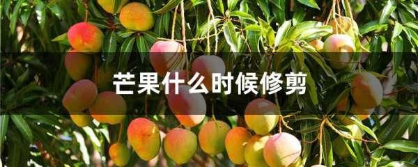 芒果什么时候修剪
