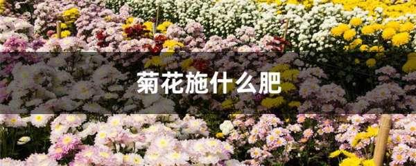 菊花施什么肥