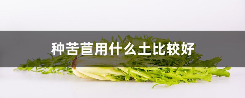 种苦苣用什么土比较好