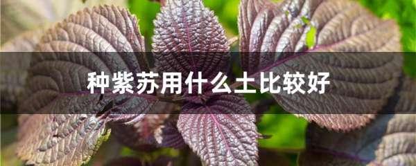 种紫苏用什么土比较好
