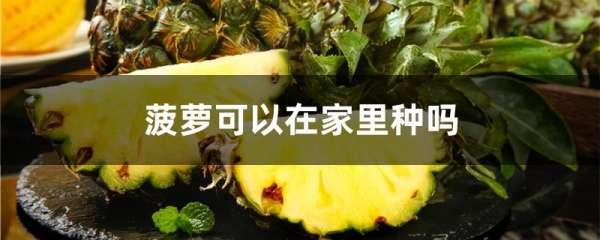 菠萝可以在家里种吗