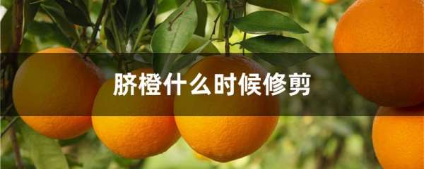 脐橙什么时候修剪
