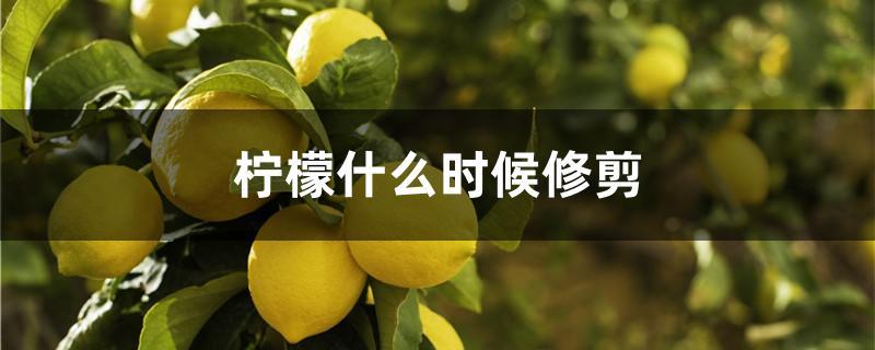 柠檬什么时候修剪