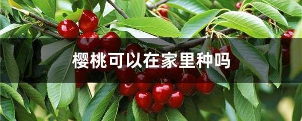 樱桃可以在家里种吗