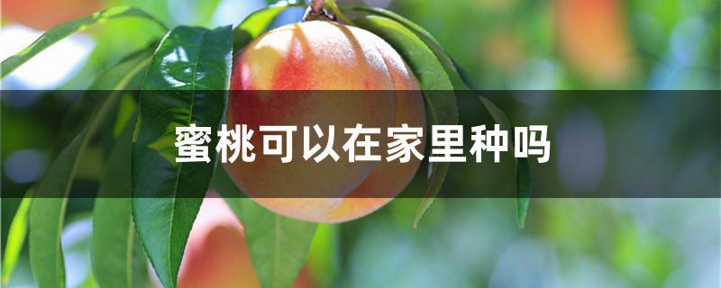 蜜桃可以在家里种吗