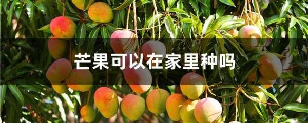 芒果可以在家里种吗