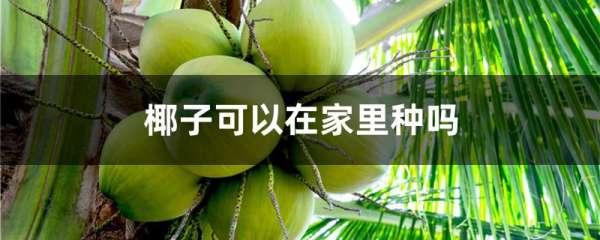 椰子可以在家里种吗