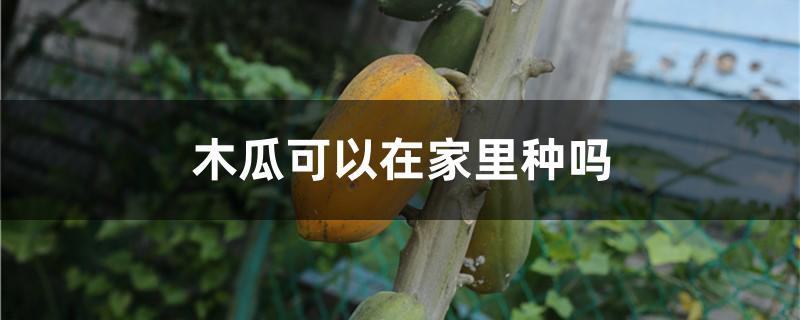 木瓜可以在家里种吗