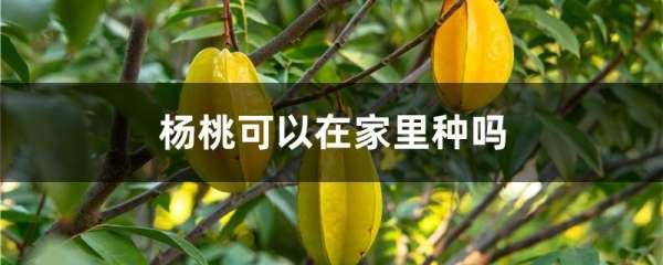 杨桃可以在家里种吗