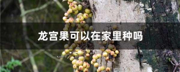 龙宫果可以在家里种吗