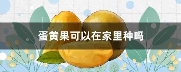 蛋黄果可以在家里种吗