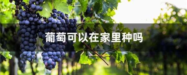 葡萄可以在家里种吗