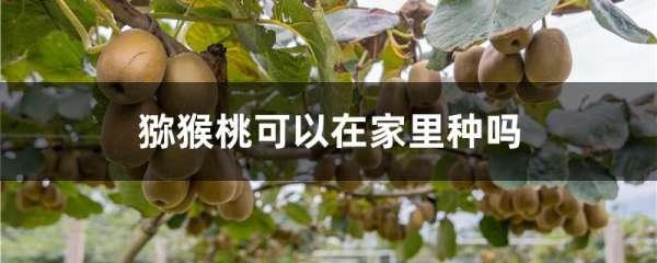 猕猴桃可以在家里种吗