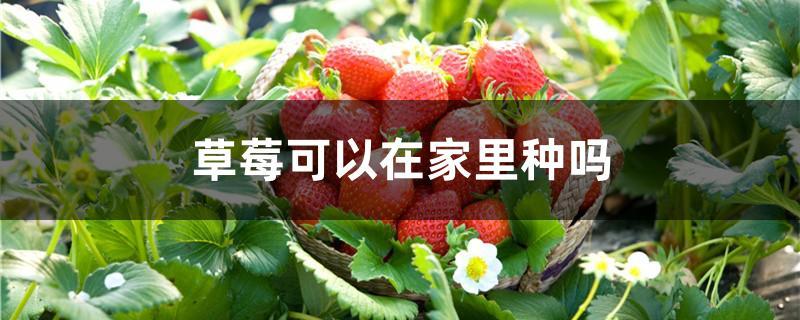 草莓可以在家里种吗