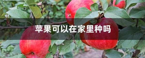 苹果可以在家里种吗