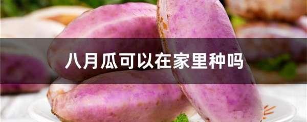 八月瓜可以在家里种吗