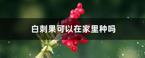 白刺果可以在家里种吗