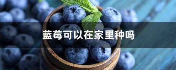 蓝莓可以在家里种吗