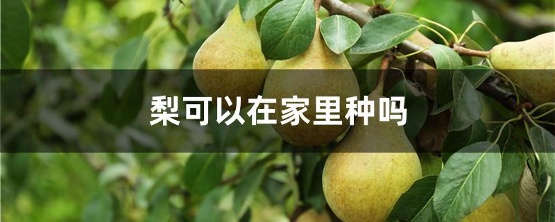 梨可以在家里种吗