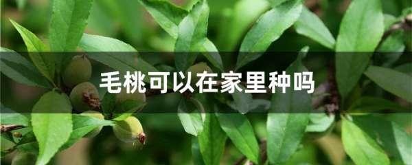 毛桃可以在家里种吗
