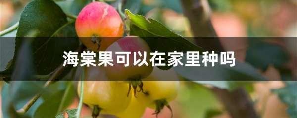 海棠果可以在家里种吗