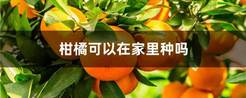 柑橘可以在家里种吗