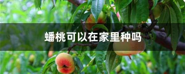 蟠桃可以在家里种吗
