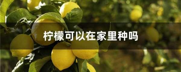 柠檬可以在家里种吗