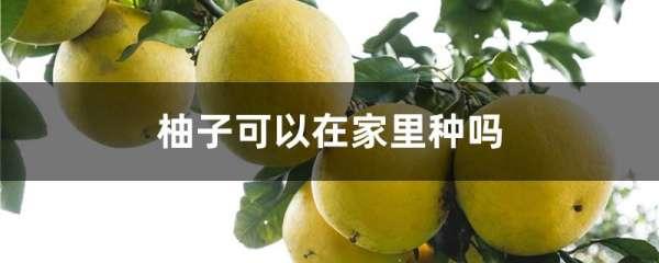 柚子可以在家里种吗