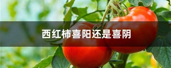 西红柿喜阳还是喜阴