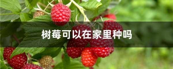 树莓可以在家里种吗