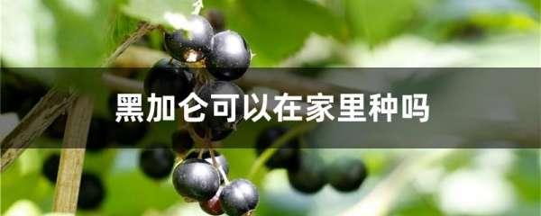 黑加仑可以在家里种吗