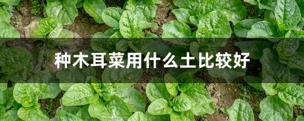 种木耳菜用什么土比较好