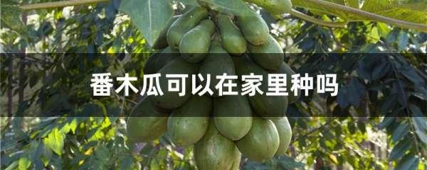 番木瓜可以在家里种吗