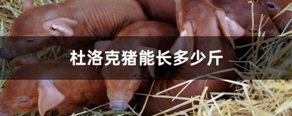 杜洛克猪能长多少斤